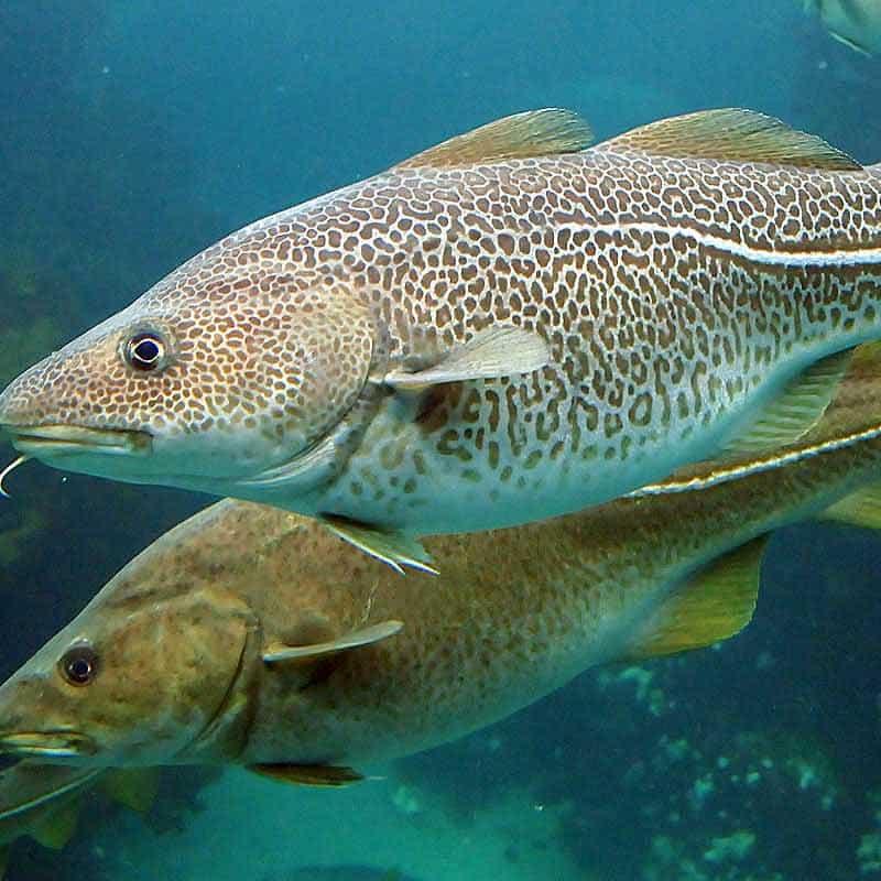 рыбий коллаген